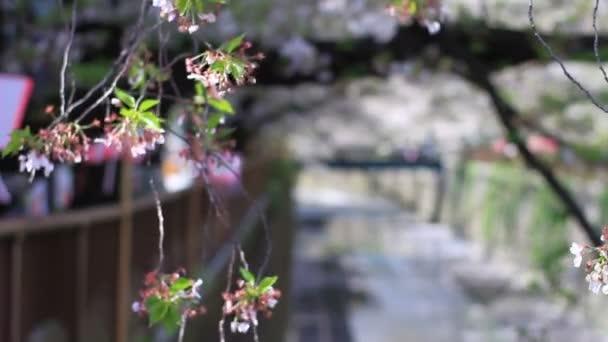 Třešňový květ v Tokiu / jeho třešňový květ v Tokiu. fotoaparát: Canon Eos 7d
