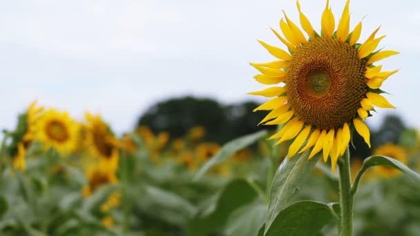 Slunečnice v parku. / Její přírodní lokalita v Tokiu. fotoaparát: Canon Eos 7d