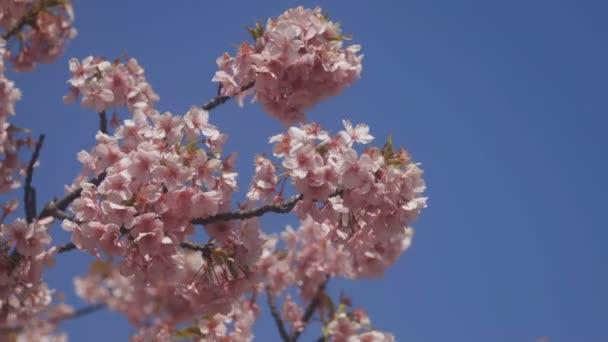 Třešňový květ v parku v Tokiu / jeho třešňový květ v Tokiu. fotoaparát: Canon Eos 5d