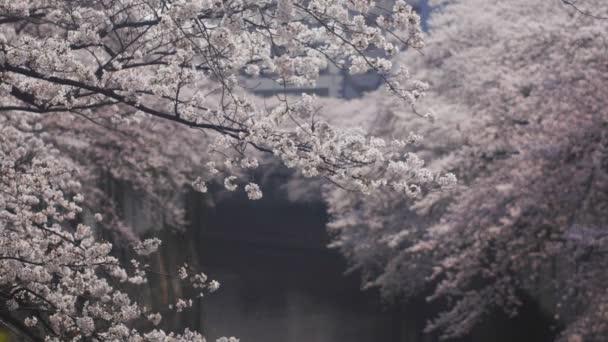 Cseresznyefa Kanda folyó Tokyo / a a cseresznyevirág Tokióban. fényképezőgép: Canon Eos 5d