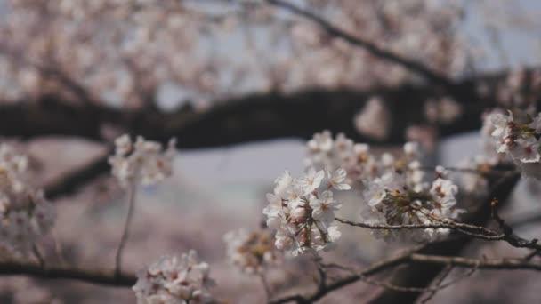Třešeň na Kanda řeky v Tokiu / jeho třešňový květ v Tokiu. fotoaparát: Canon Eos 5d