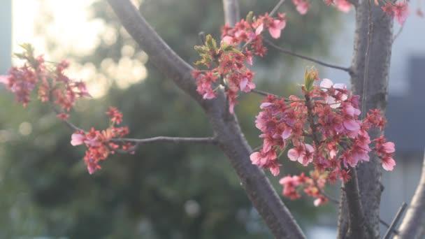 Třešňový květ v Nerima v Tokiu / jeho třešňový květ v Tokiu. fotoaparát: Canon Eos 5d