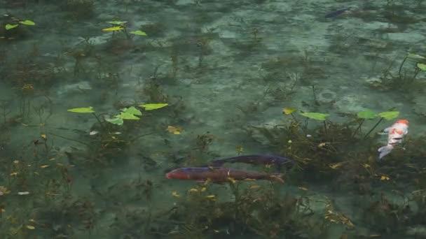 Plavání kapra v krásném zeleném rybníku v Gifu Japonsku