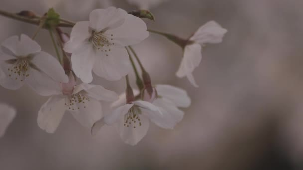 Shadow Cherry blossom in spring daytime closeup
