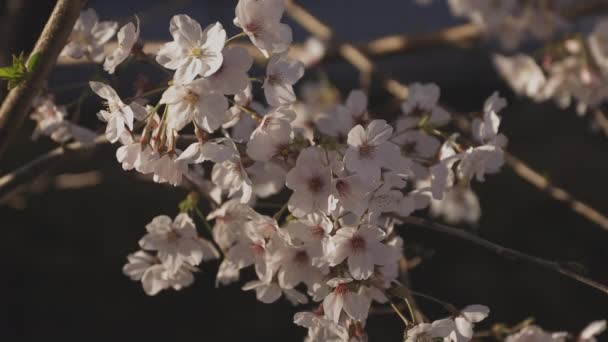 Shadow Cherry blossom in spring daytime