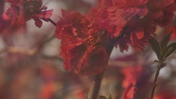 Dreamy red cherry flower in spring daytime closeup