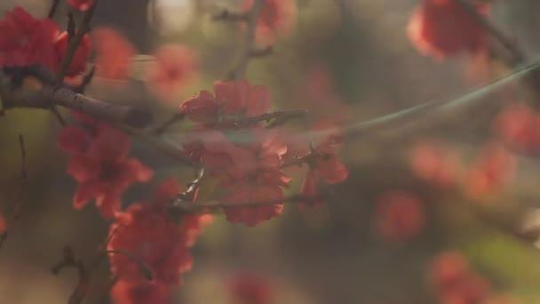 Dreamy red cherry flower in spring daytime medium shot