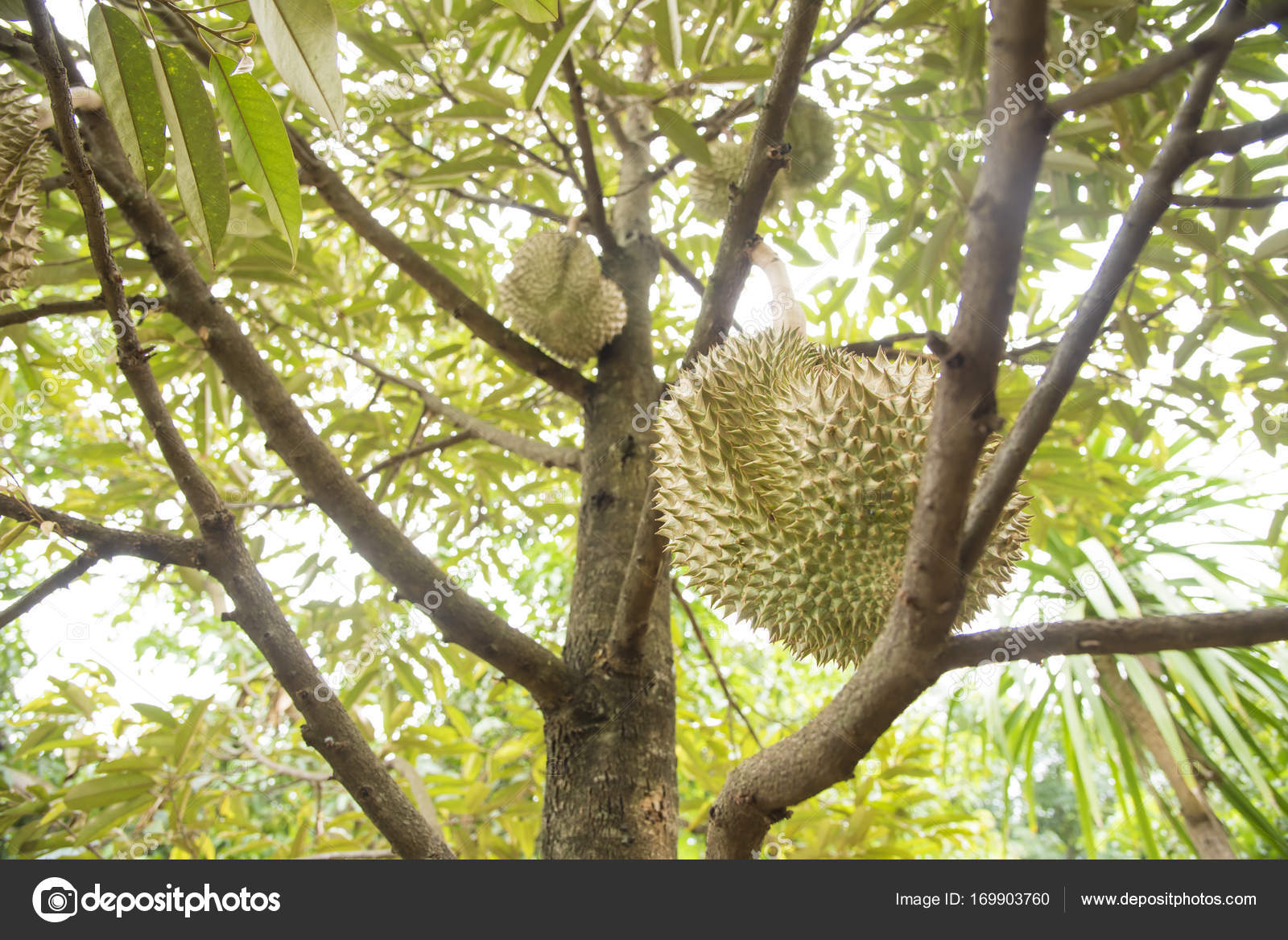 Pictures: durian tree | Durian tree, King of fruits in the
