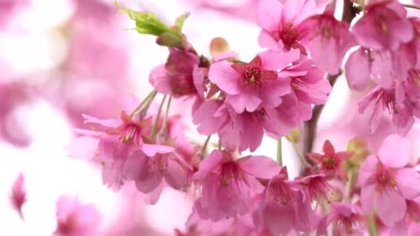 Rose Cerise Fleur Fleur Cerisier Cerisier Japonais Sur Arbre Sakura