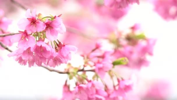 Rosa Cherry Blossom Flor Cerezo Cerezo Flor Japonés árbol Sakura