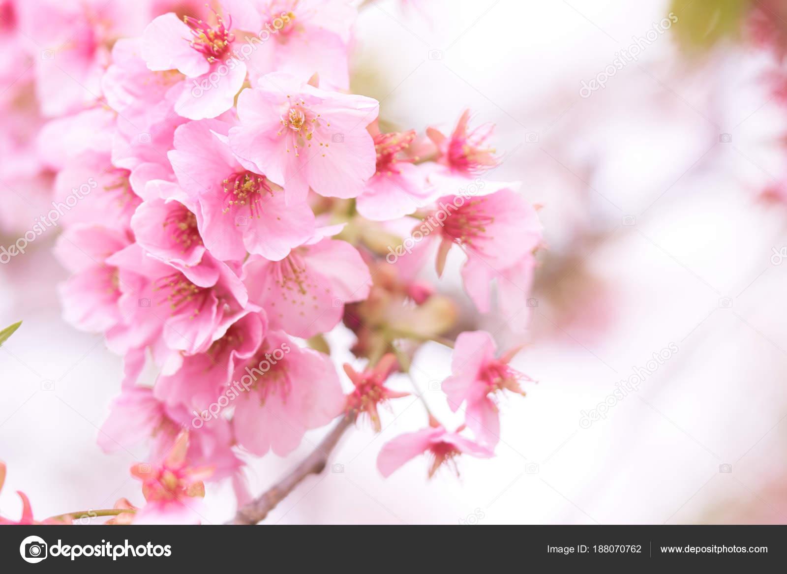 Pink cherry blossom cherry blossom japanese flowering cherry sakura pink cherry blossom cherry blossom japanese flowering cherry sakura tree stock photo mightylinksfo