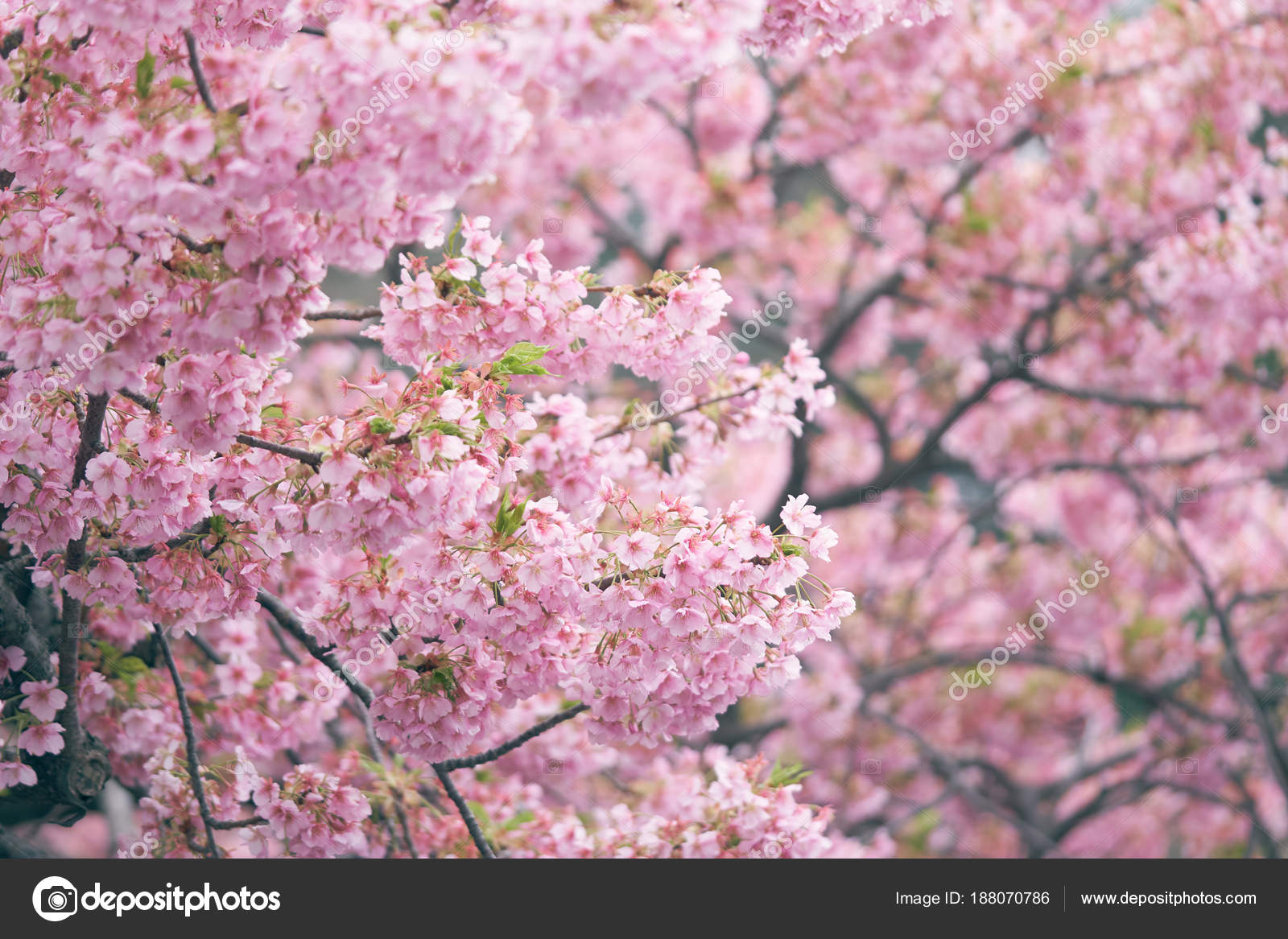Pink Cherry Blossom Cherry Blossom Japanese Flowering Cherry Sakura