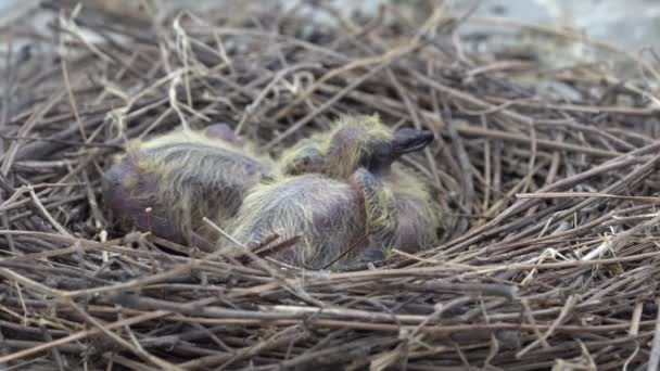 The pigeon has hatched from the eggs for about 3-4 days, living in a nest that do not do pigeons for hatching nest eggs made of grass, gradually placed into a bird nest in a circle to keep the bird.