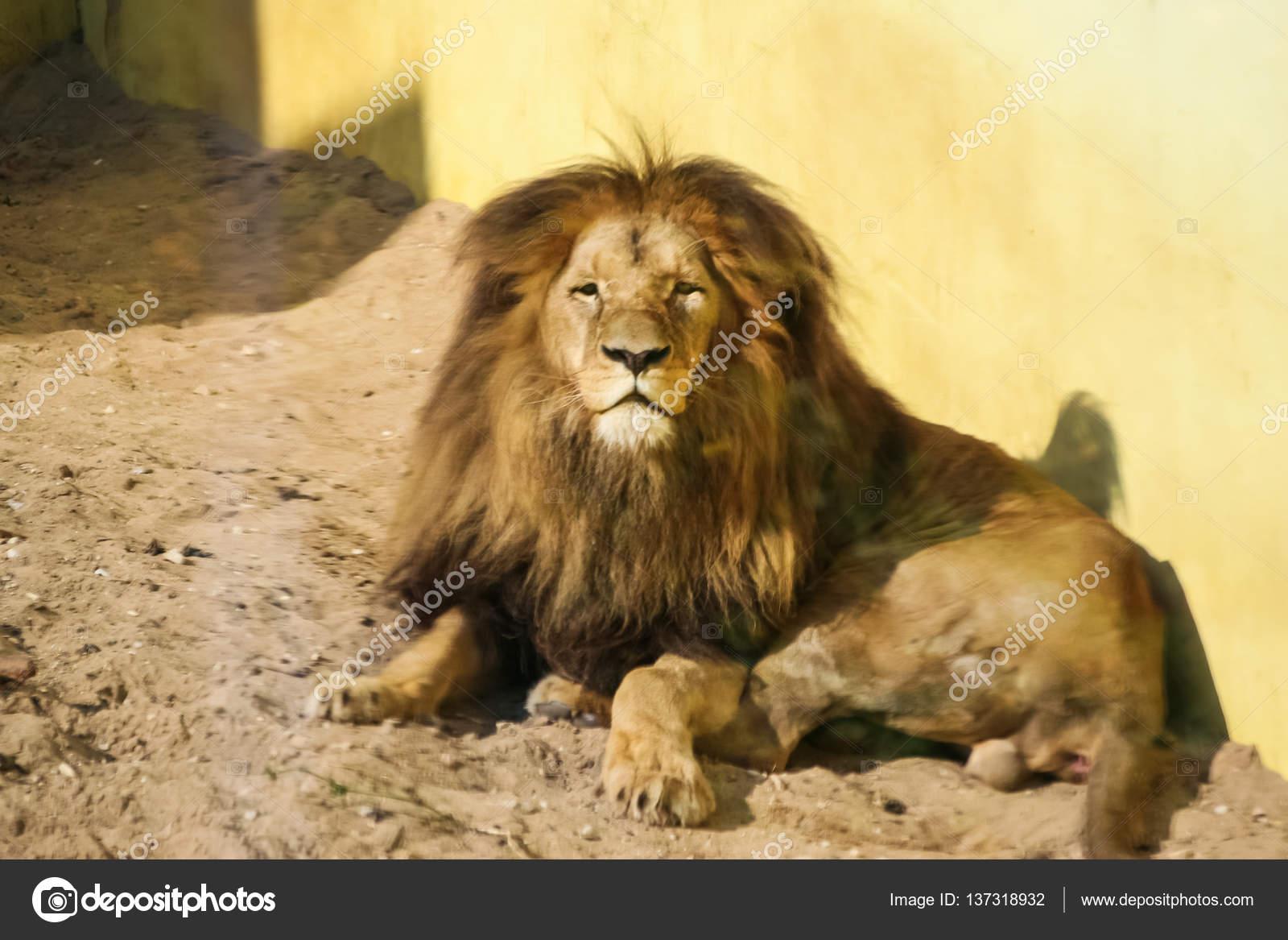 Leoni Prendere Il Sole Nel Giardino Zoologico Foto Stock C Romija