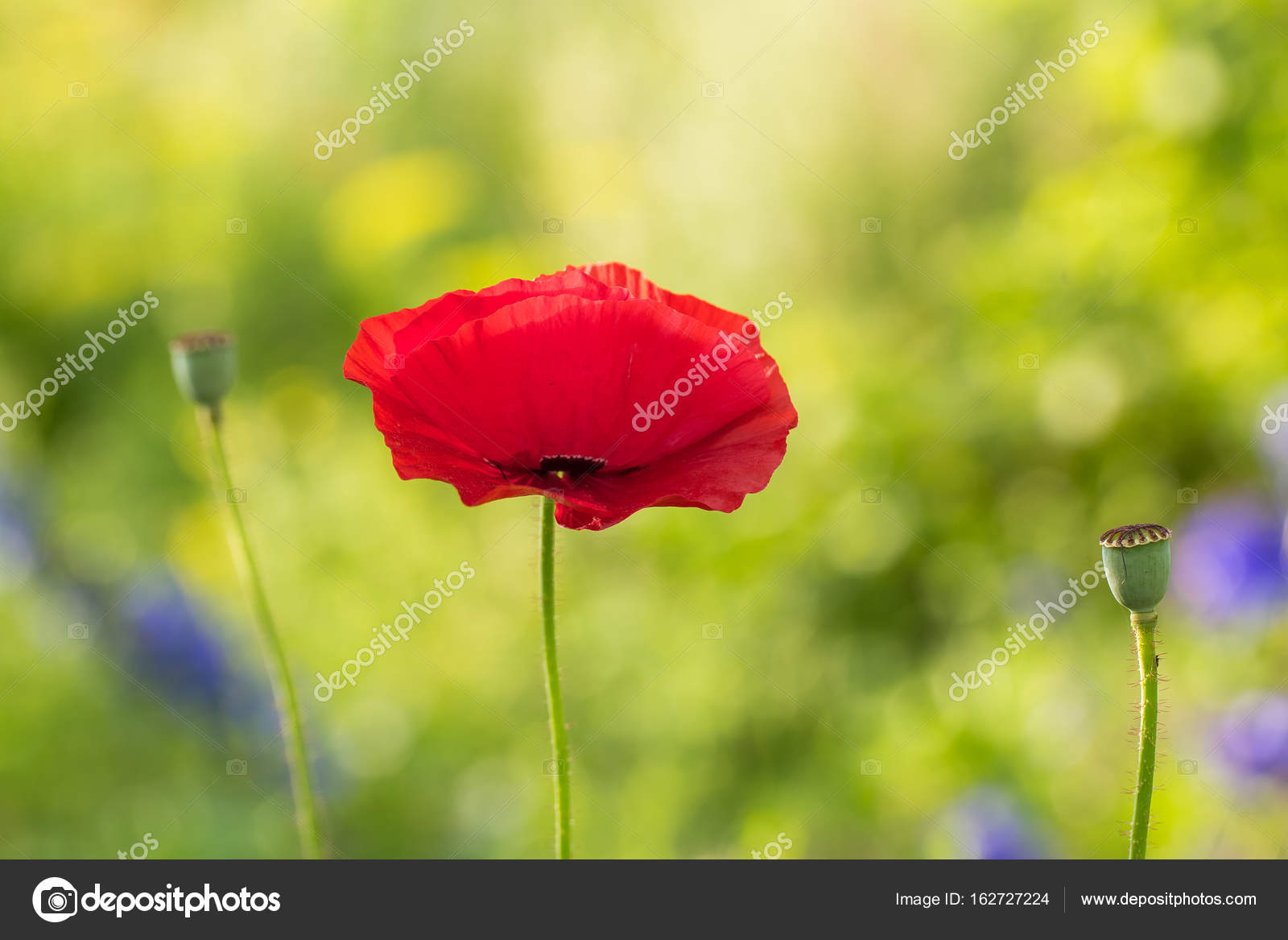 A Beautiful Red Poppies Blooming In The Garden Pink Poppy In The