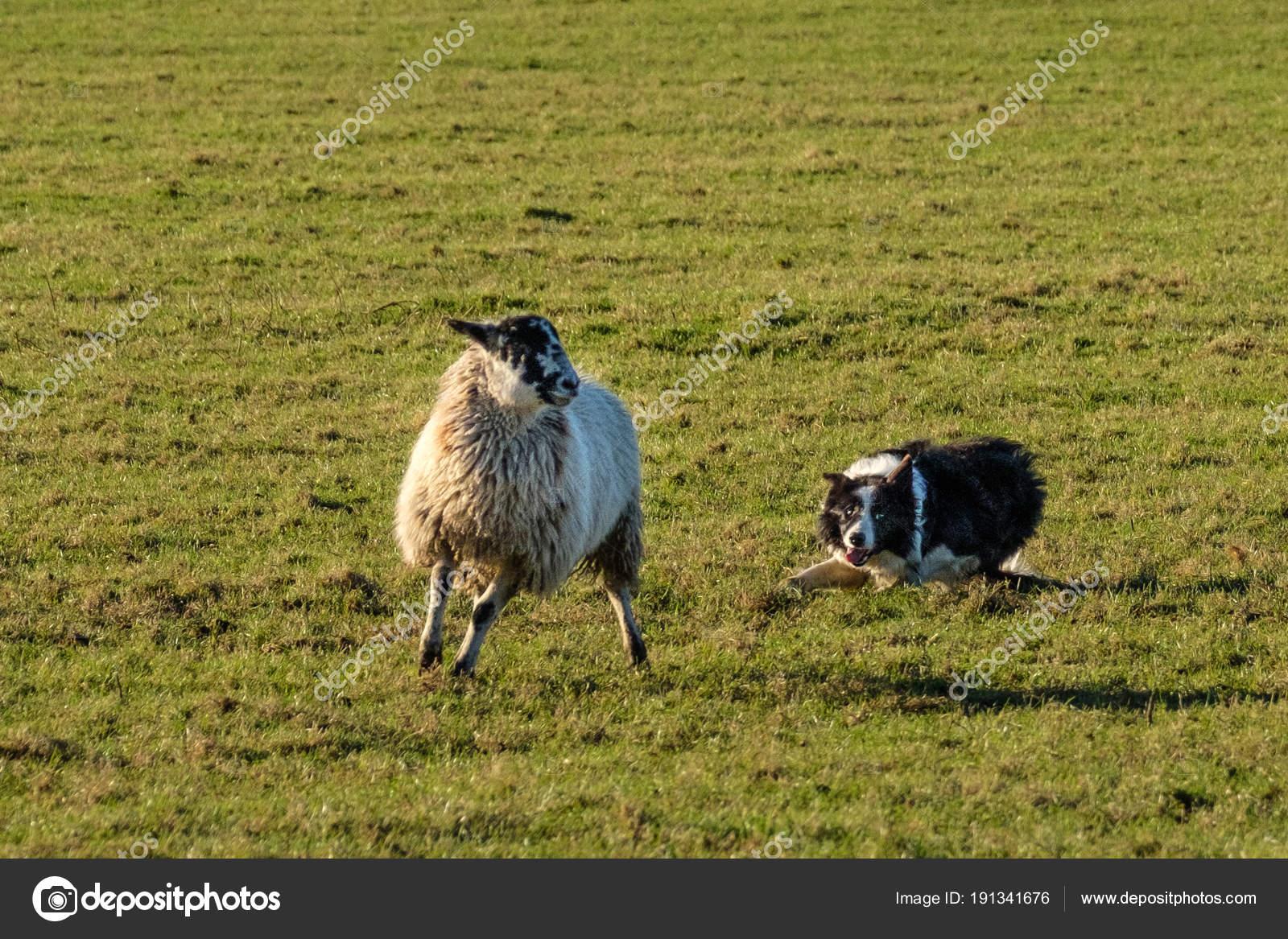 Lavoro Del Border Collie Cane Pastore Raccogliendo Pecore Foto