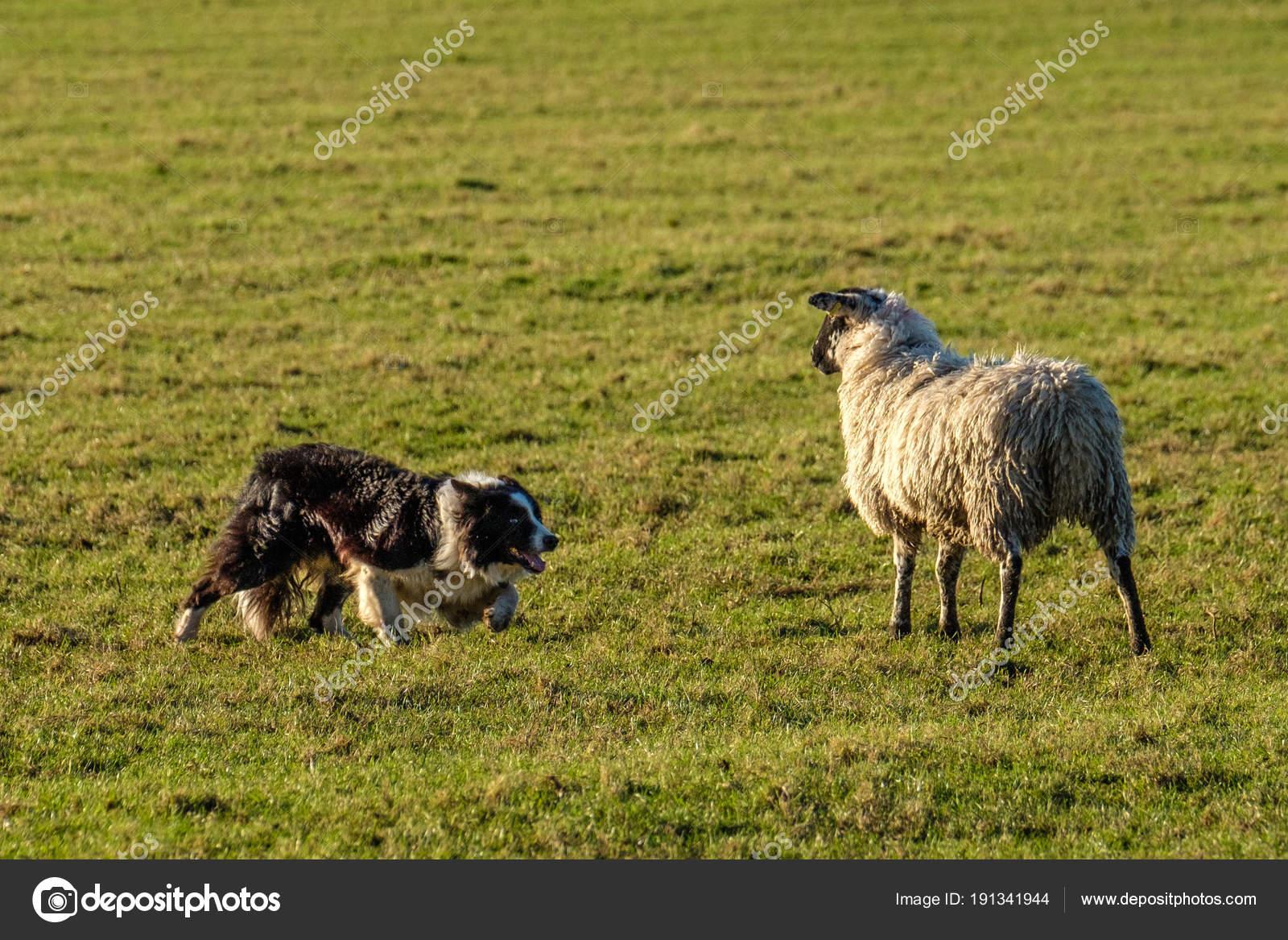 Lavoro Del Border Collie Cane Pastore Accovacciato Guardando Pecore
