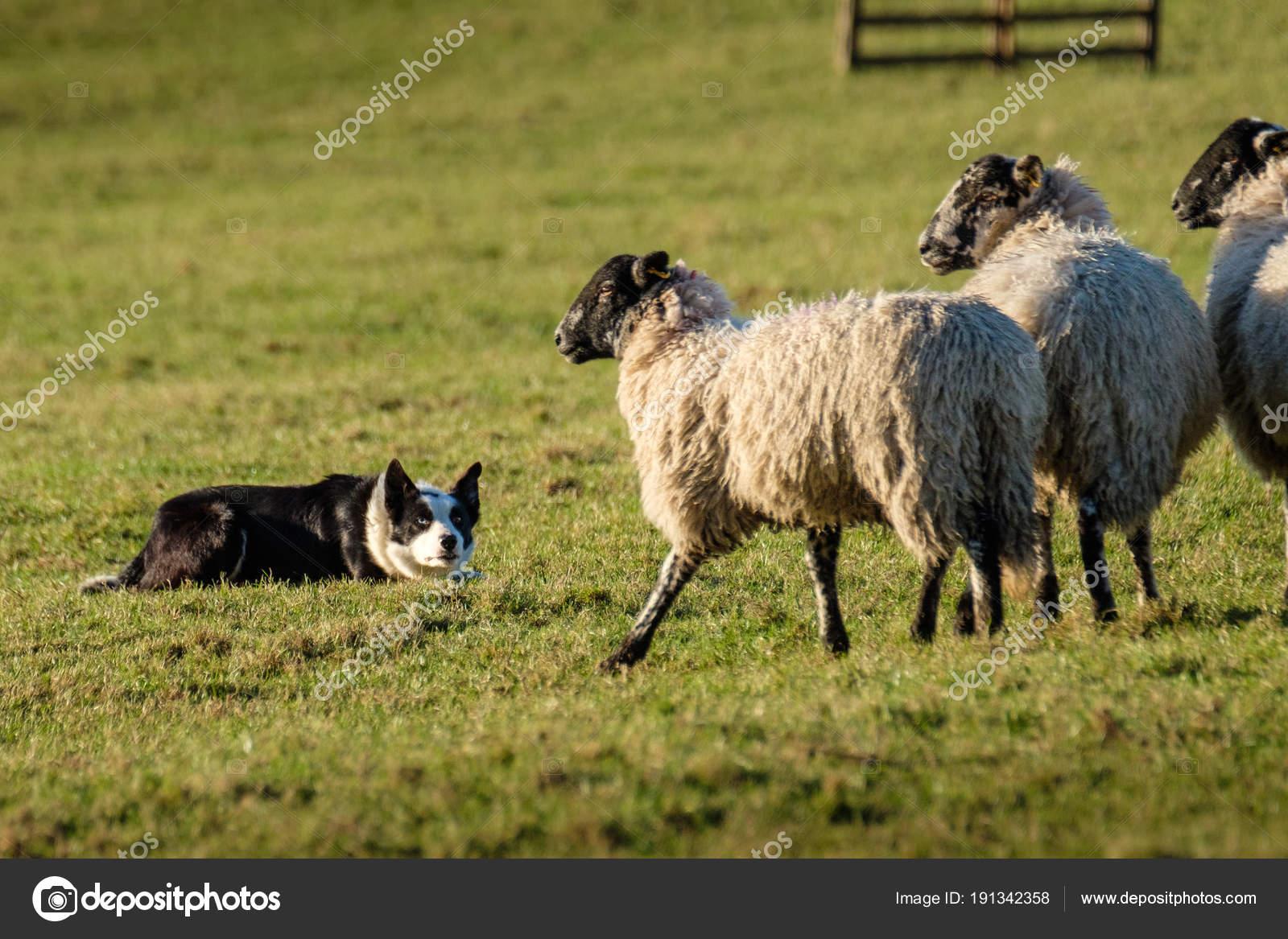 Lavoro Del Border Collie Cane Pastore Sdraiato Guardando Pecore