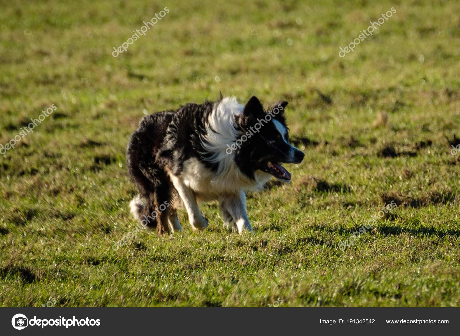 Lavoro Del Border Collie Cane Pastore Raccogliendo Pecore Nel Campo