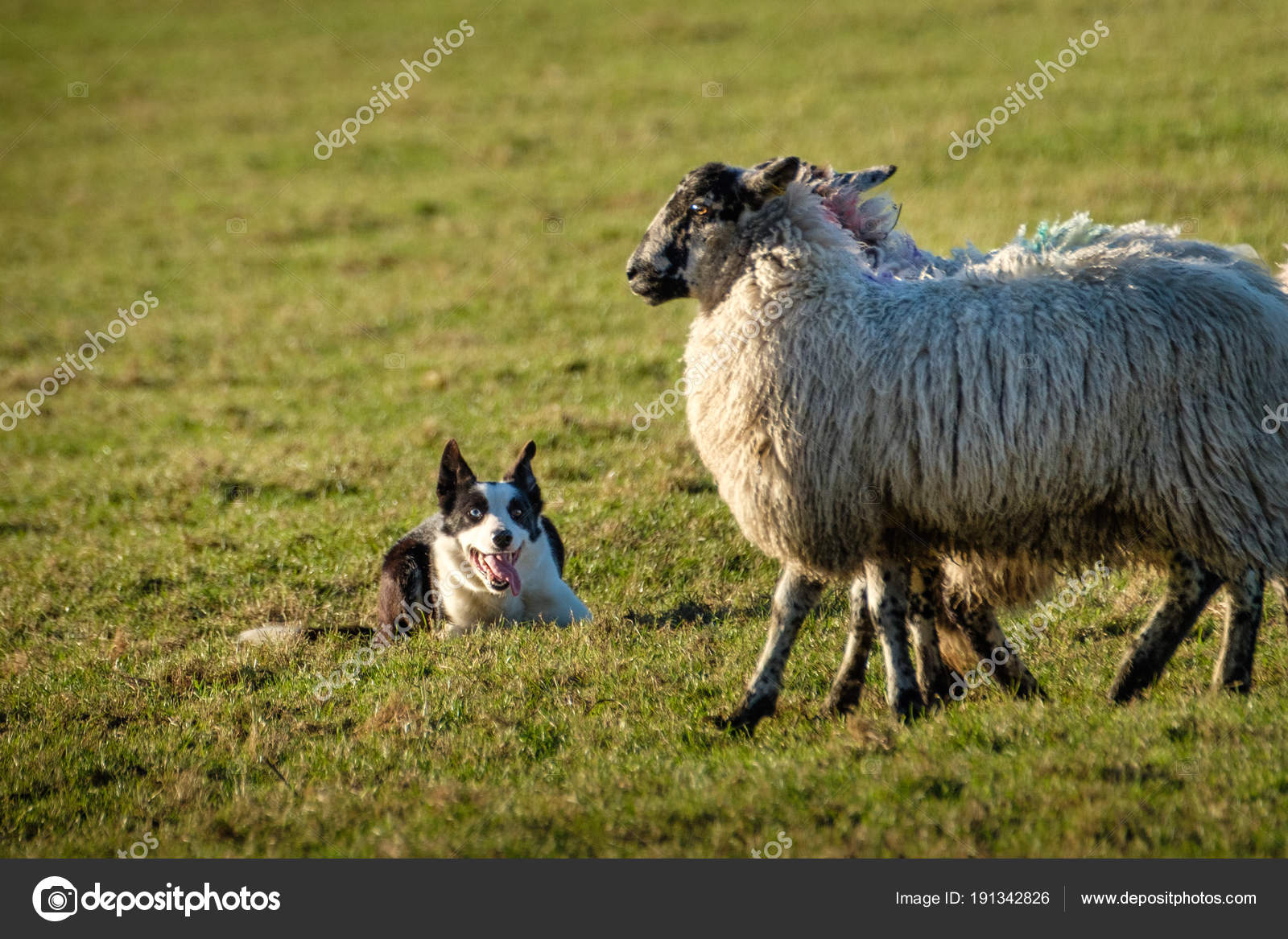 Border Collie Cane Pastore Sdraiato Guardando Pecore Foto Stock