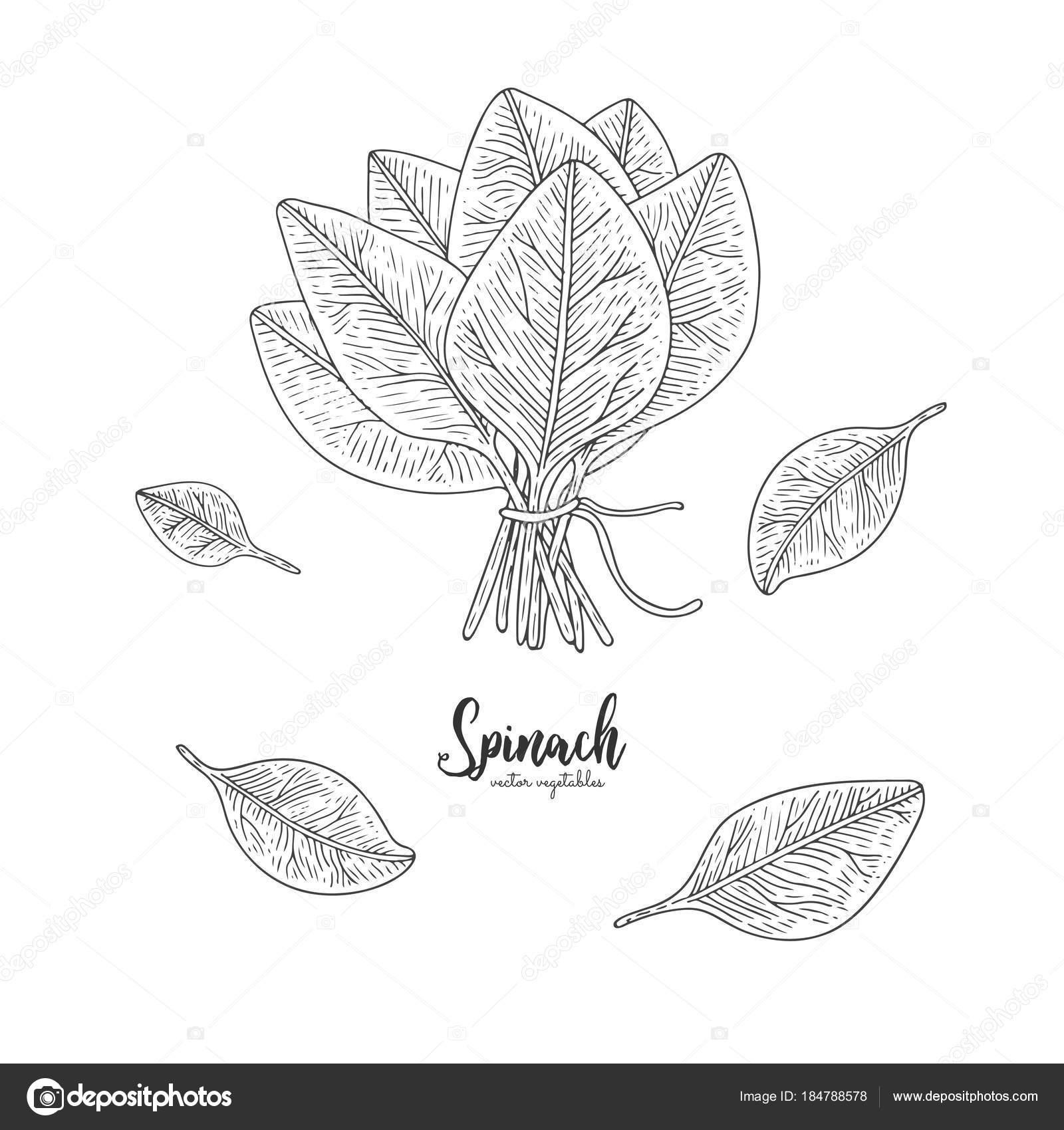 Vegetarisches Essen. Handgezeichnete isoliert Spinat. Vintage Gemüse ...