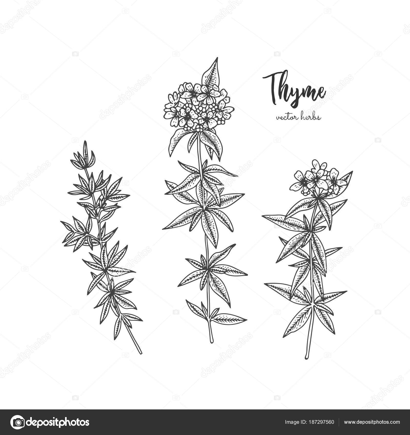 Vintage Botanical Engraving Illustration Of Thyme Beauty And Spa