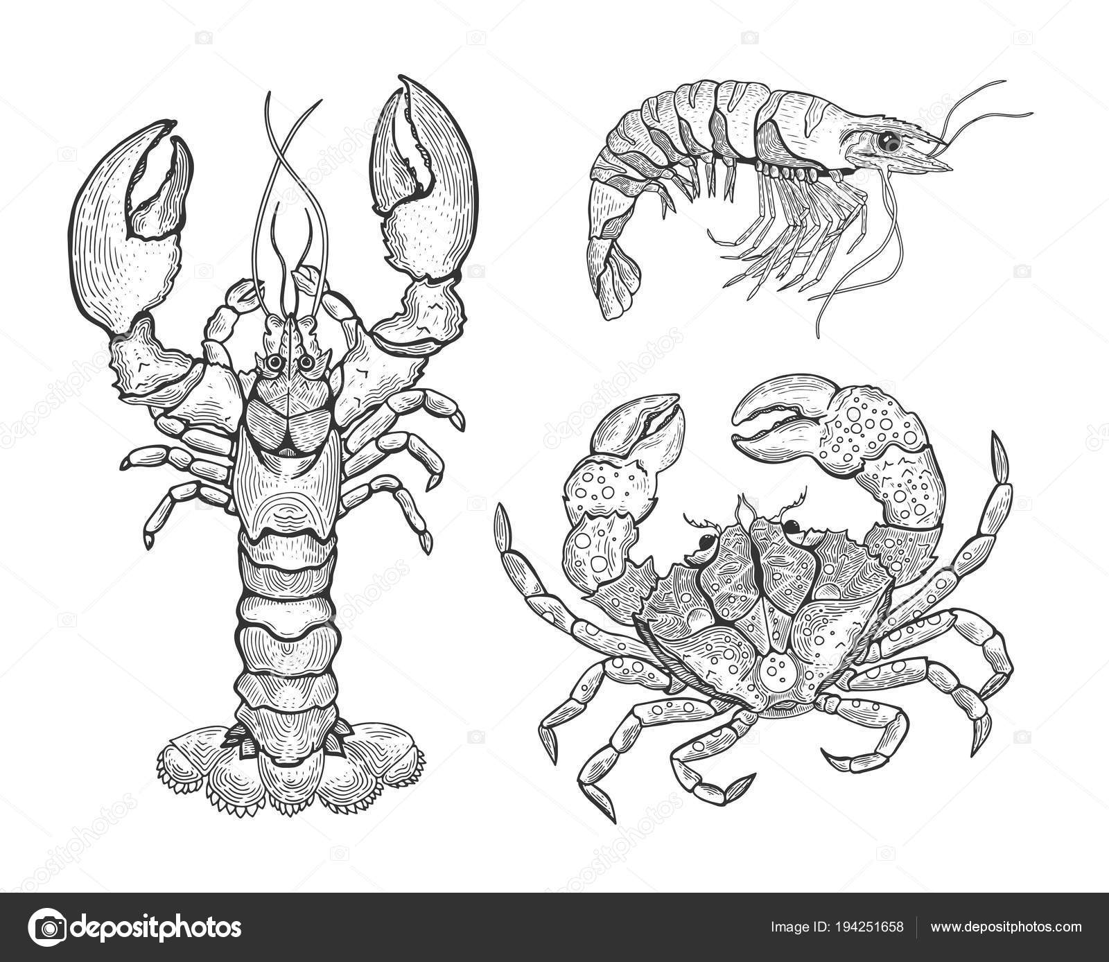 Hand drawn vintage graphic illustration with realistic lobster ...