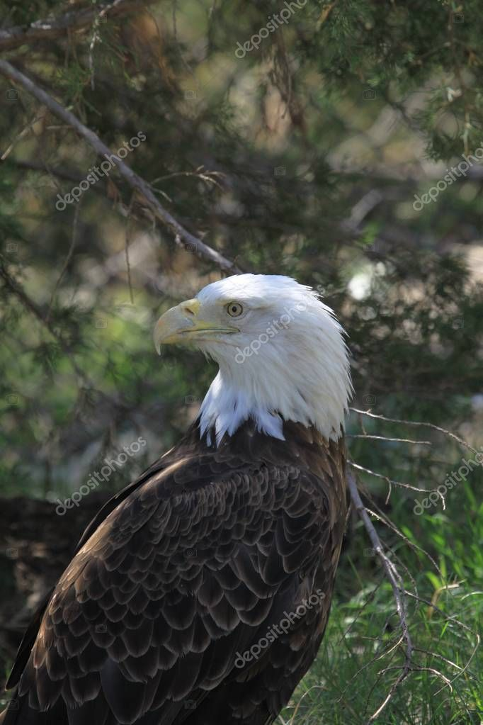 Majestic Bald Eagle watching you