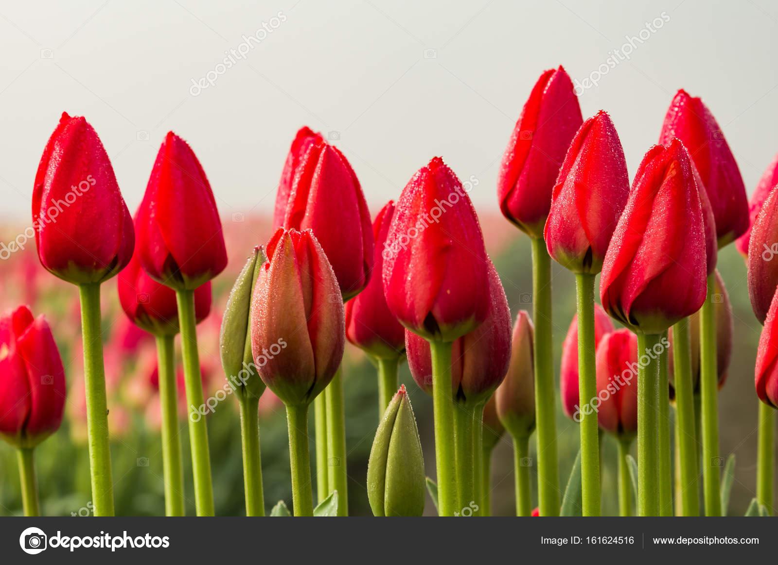 Wiersz Z Czerwone Tulipany Z Zielony łodyg Zdjęcie