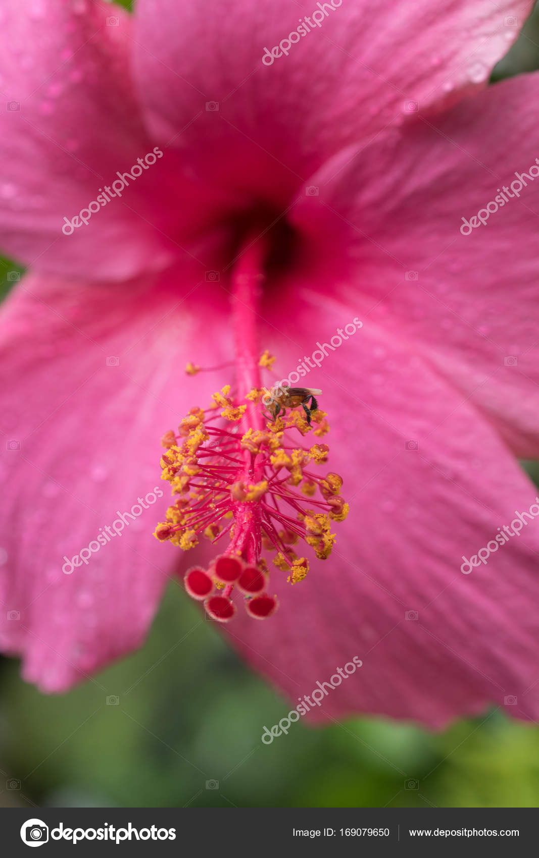 Bee On Stigma Pink Hibiscus Stock Photo Cloudyew At Gmailcom