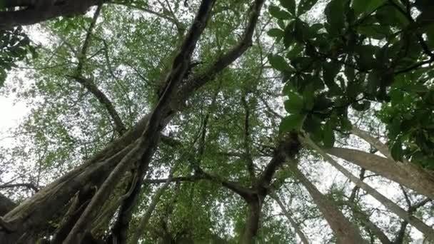 Nakloněný záběr banyanského stromu, který roste na jiné rostlině.