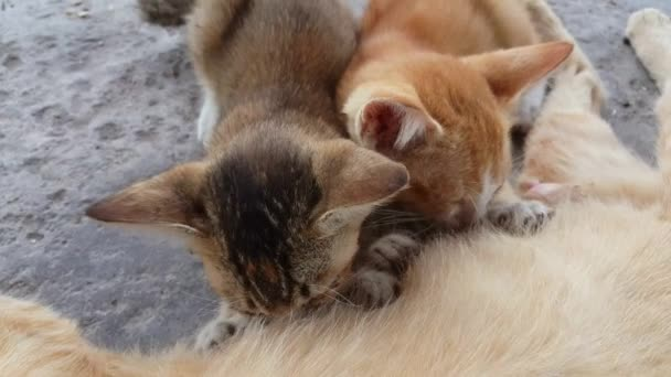 One black kitten and one orange kitten drink milk from cat mother.