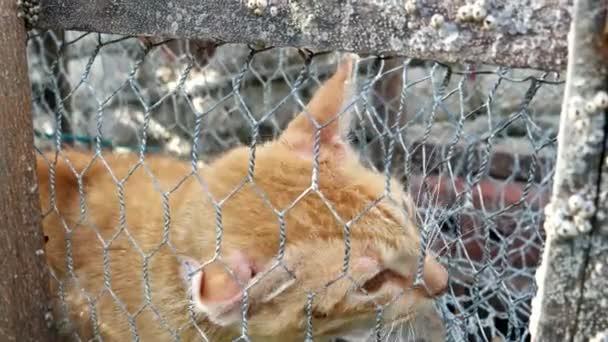 Die orangefarbene Katze miaut und bittet um Hilfe, weil sie aus der Scheißfalle nicht herauskommt.