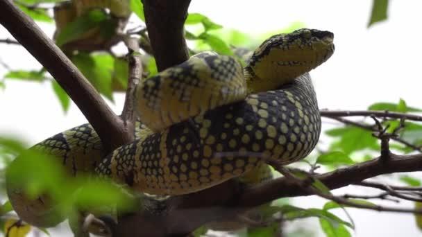 Zöld kígyó pihenjen az ágon mellett piros borítékot kígyó templom, Penang.