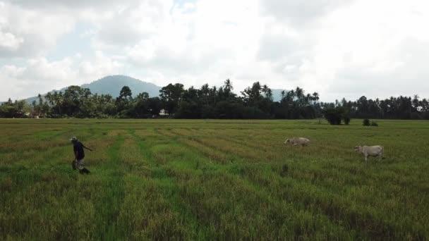 Farmář tahat krávy s lanem v rýžovém poli.