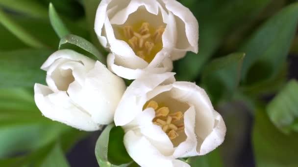 Kapky vody stříkající na bílé tulipány ve zpomaleném záběru