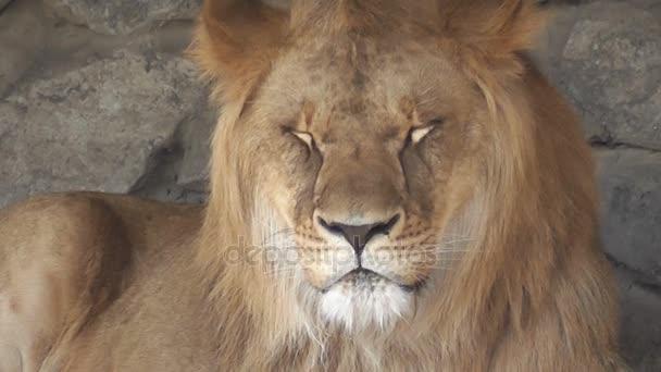 oroszlán az állatkert közelről