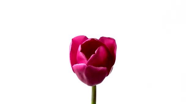 Tulipán květ timelapse bílé pozadí