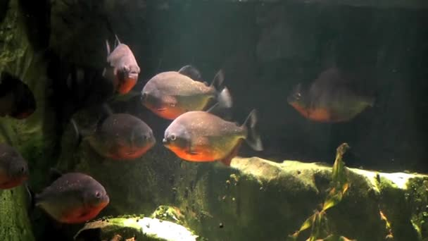 Fisch Piranha im Aquarium