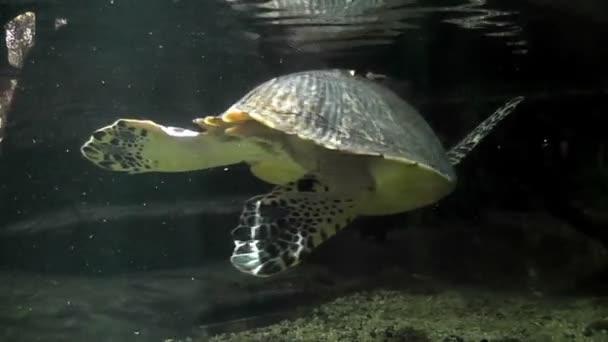 turtle swimming in an aquarium 03