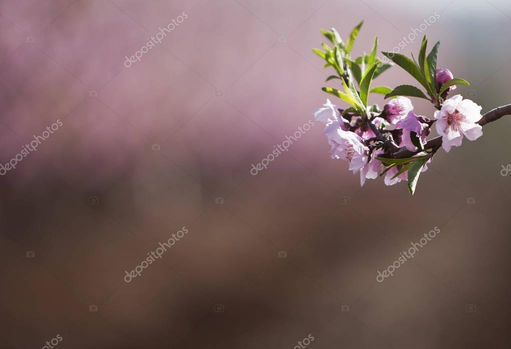 almond flowers blooming