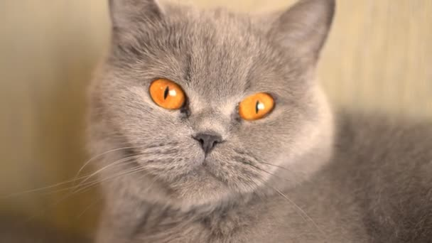 gray cat turns his head