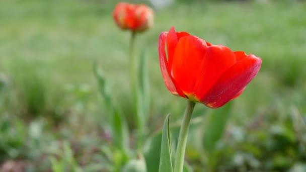 Piros tulipán területén. 4 k Ultrahd videóinak