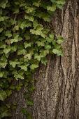 Fotografie Closeup zelených listů břečťanu pokrývající kmen stromu