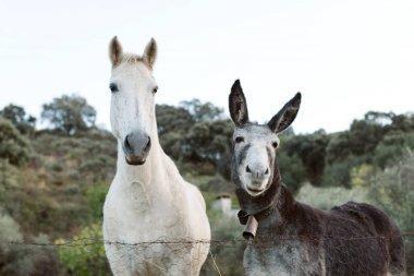 white horse with gray donkey
