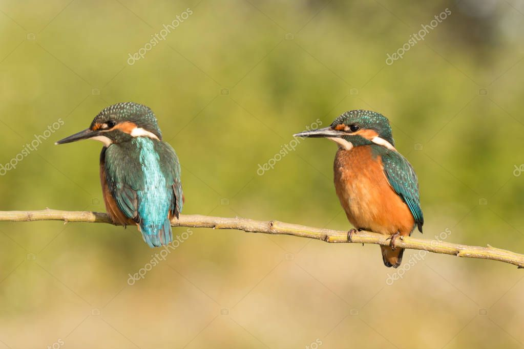 Kingfisher couple perched on branch