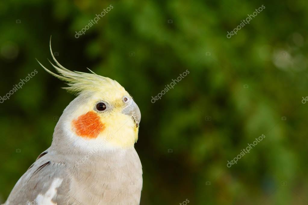 Beautiful parrot nymph