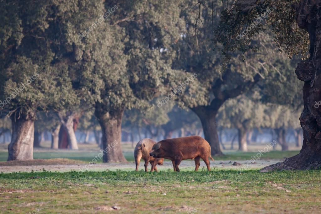 Iberian pigs grazing in meadow