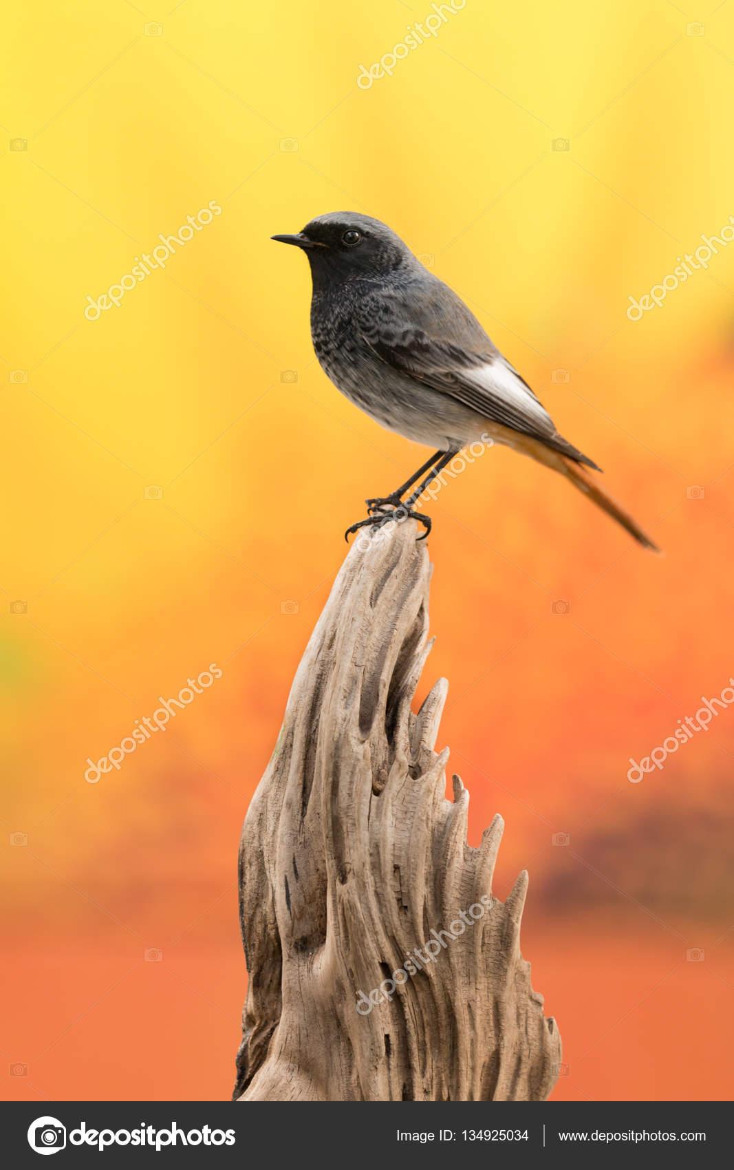 Δωρεάν μαύρο πουλί