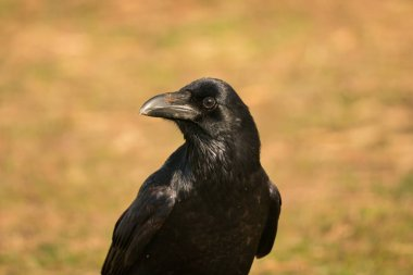 beautiful black crow